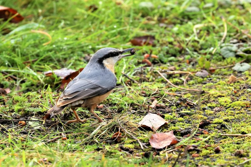 Nuthatch by Brian Cartwright - Dec 9th, Anton Lakes