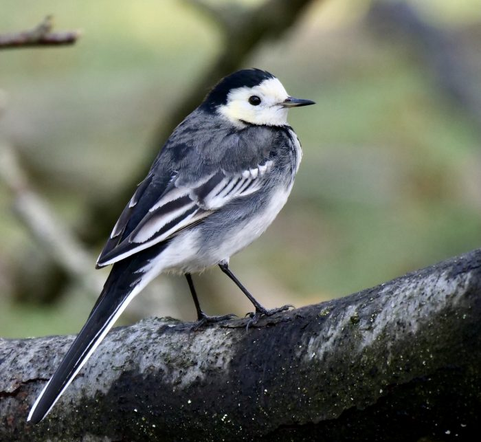 Pied Wagtail by Rob Porter-Dec 17th, Skidmore, Lee