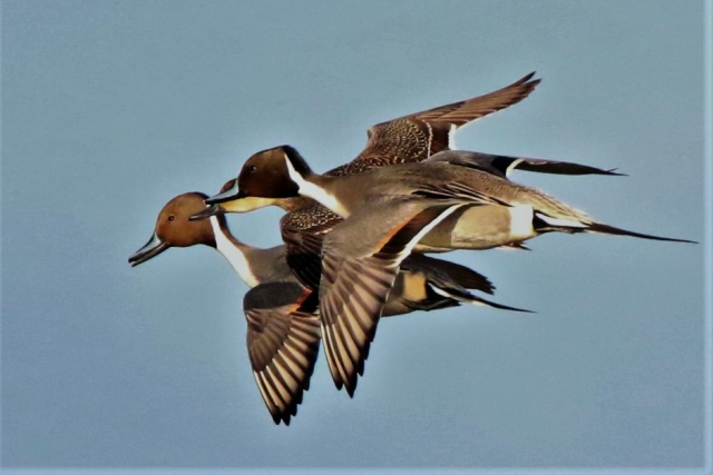 Pintail by Andy Tew - Dec 12th, Pennington Marshes