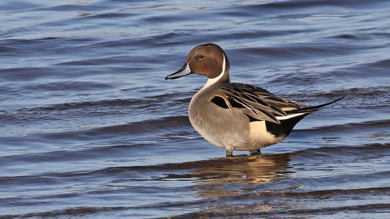 Pintail by Chris Rose - Dec 12th, Pennington Marshes