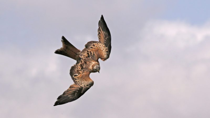 Red Kite by Chris Rose - Sep 20th, Old Winchester Hill