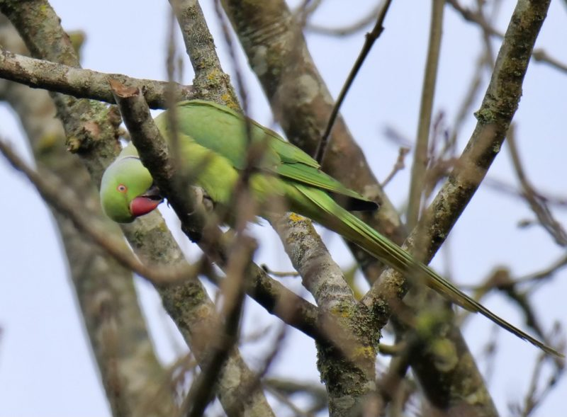 Ring-necked Parakeet by Rob Porter-Dec 9th, Mansbridge