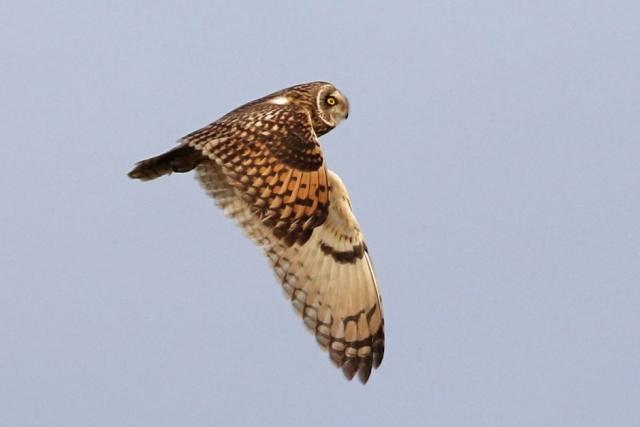 Short-eared Owl by Chris Rose - Nov 7th, Farlington Marshes