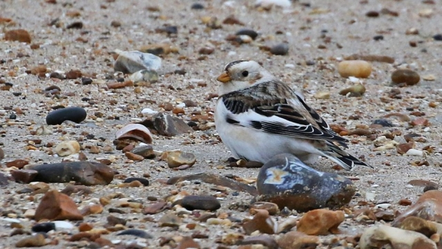 Snow Bunting by Chris Rose - Dec 5th, Hill Head