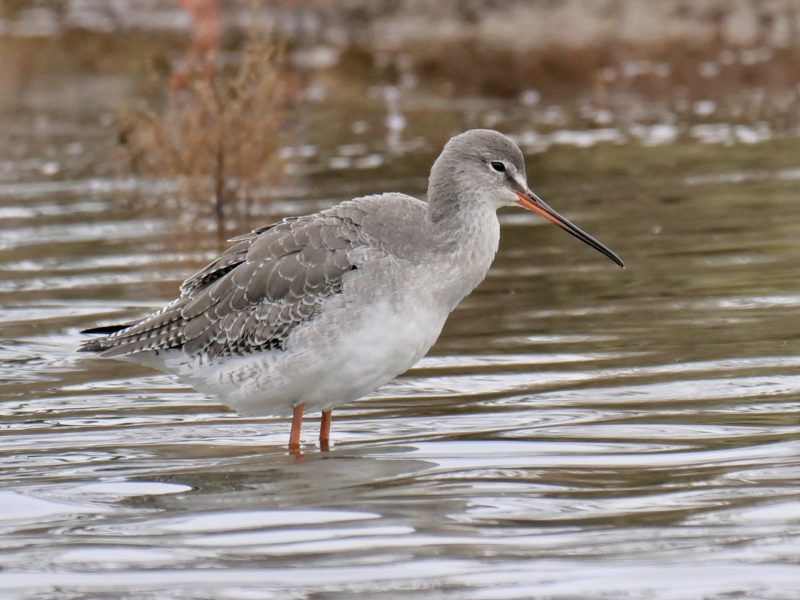 Spotted Redshank by Rob Porter-Nov 26th, Oxey Creek, Pennington