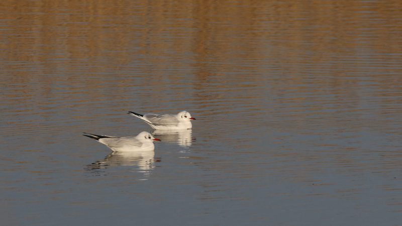 Black-headed Gull by Chris Rose - Dec 30th, Titchfield Haven
