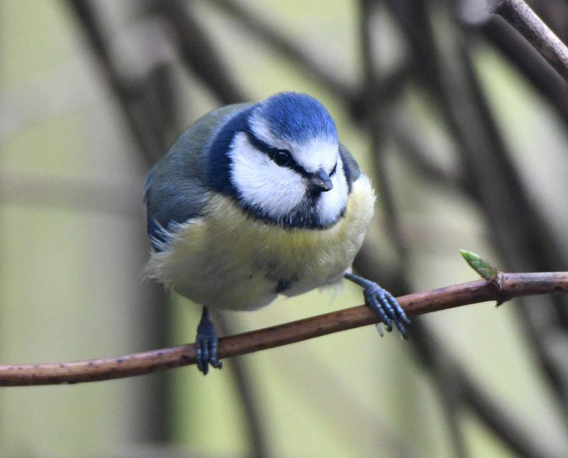 Blue Tit by Dave Levy - Dec 31st, Basingstoke