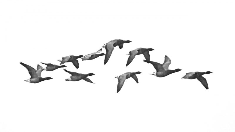 Brent Geese by Chris Roase - Dec 19th, Hill Head