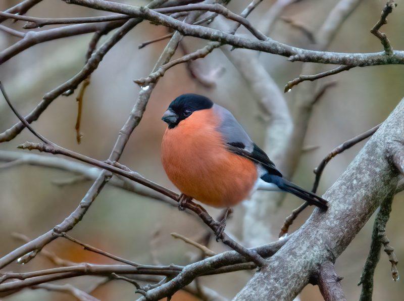 Bullfinch by Steve Payce - Dec 28th, Burridge