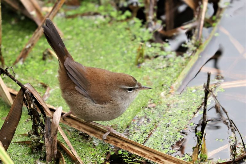 Cetti's Warbler by Brian Cartwright - Jan 6th, Anton Lakes