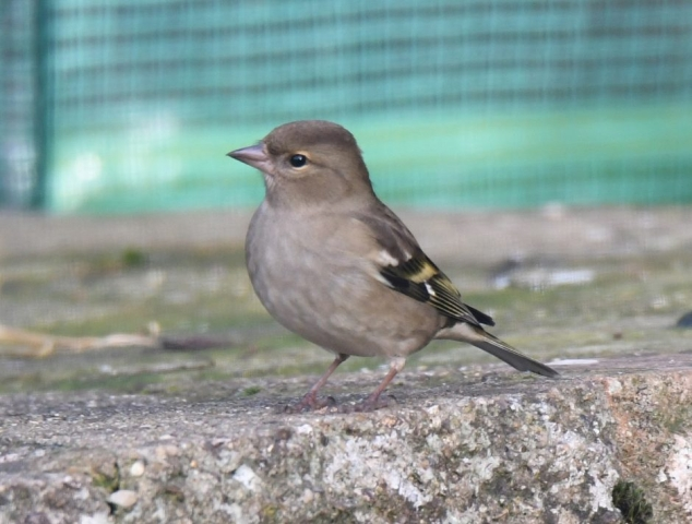 Chaffinch by Dave Levy - Jan 17th, Basingstoke