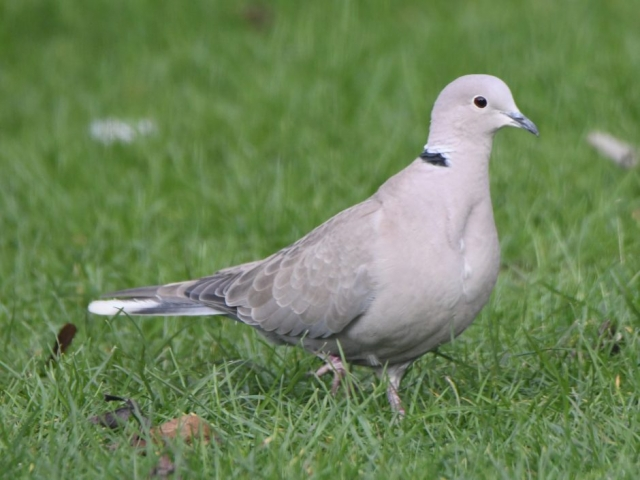 Collared Dove by Dave Levy - Jan 17th, Basingstoke