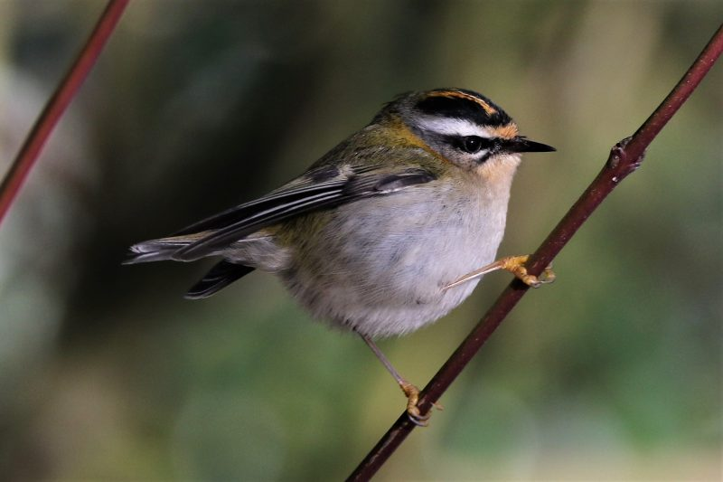 Firecrest by Andy Tew - Jan 25th, Farley Mount