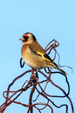 Goldfinch by Brian Cartwright - Dec 27th, Anton Lakes