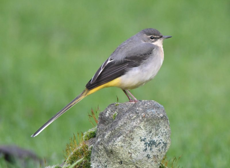 Grey Wagtail by Dave Levy - Dec 31st, Basingstoke