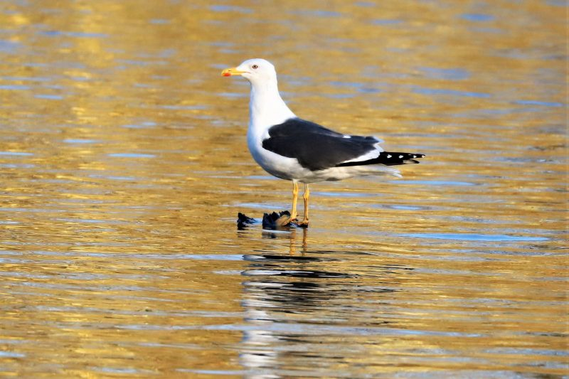 Lesser Black-backed Gull by Brian Cartwright - Jan 15th, Anton Lakes