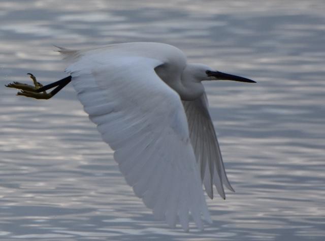 Little Egret by Peter Hyde - Jan 10th, Hamble