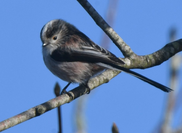 Long-tailed Tit by Dave Levy - Dec 27th, Basingstoke