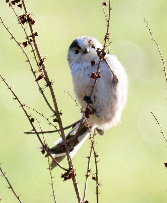 Long-tailed-Tit by Rob Porter-Jan 22nd, Nursling