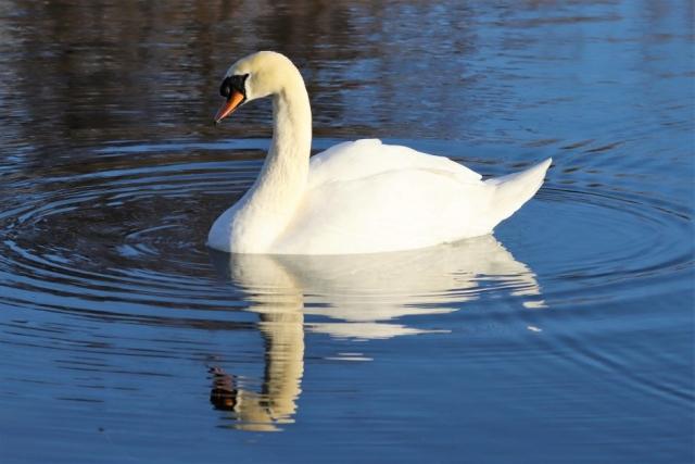 Mute Swan by Brian Cartwright - Jan 21st, Anton Lakes