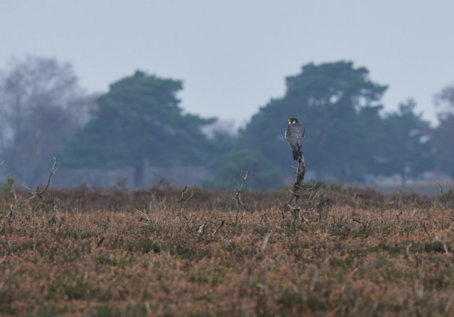 Peregrine by Martin Bennett - Jan 19th, Ibsley Common