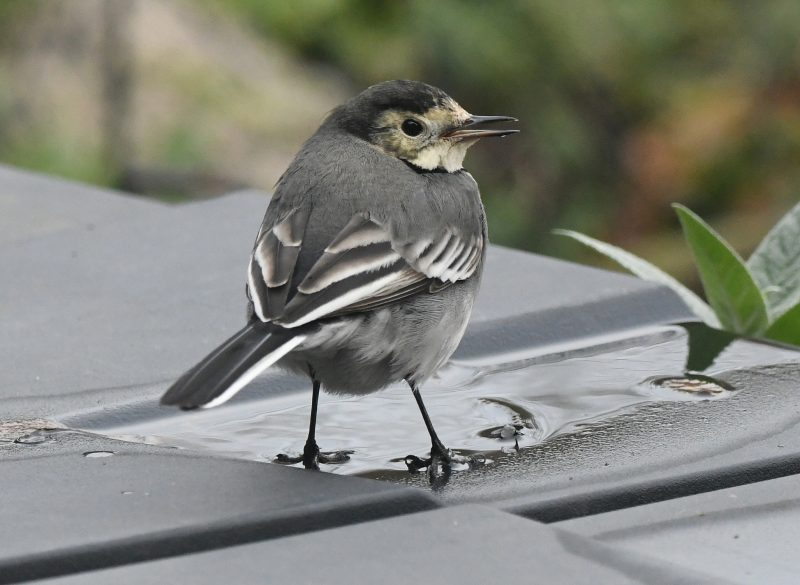 Pied Wagtail by Dave Levy - Jan 21st, Basingstoke