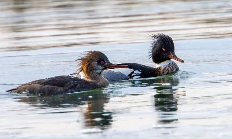Red Breasted Mergansers by Steve Payce - Dec 30th, Hayling Oysterbeds