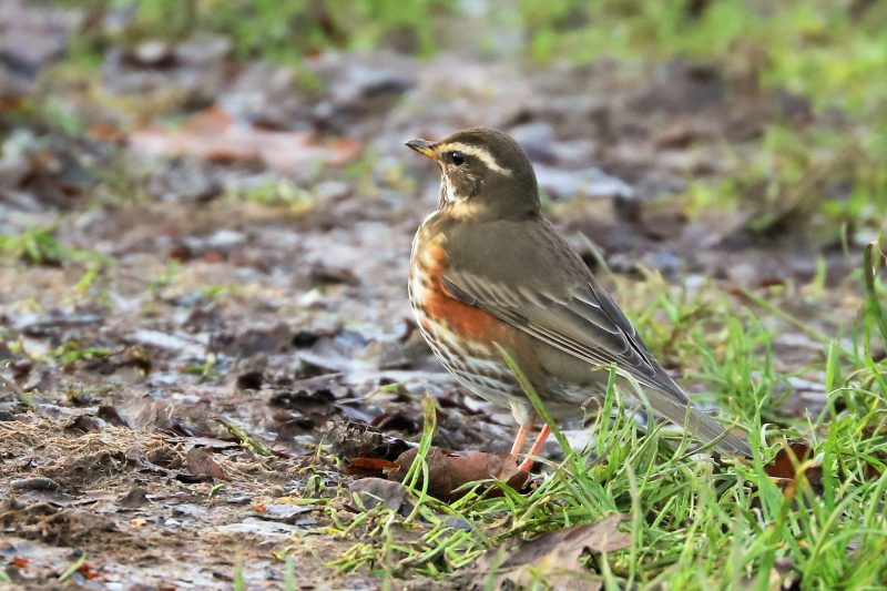 Redwing by Brian Cartwright - Jan 15th, Anton Lakes