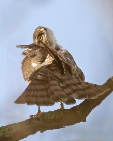 Sparrowhawk by Chris Rose - Dec 19th, Titchfield Canal Path