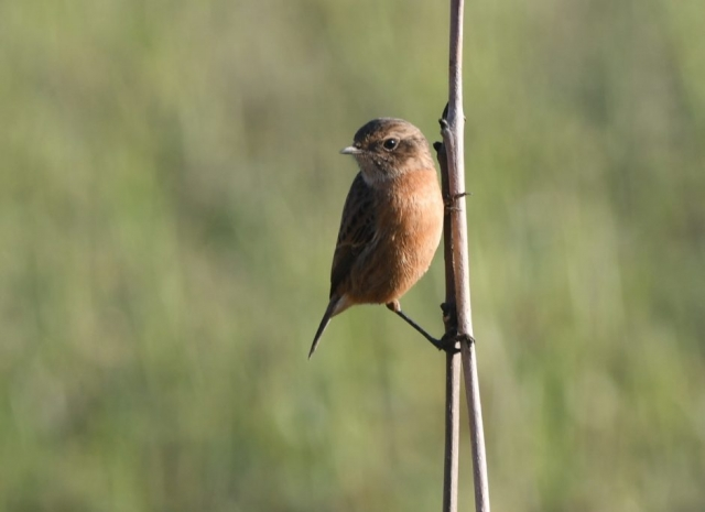 Stonechat by Dave Levy - Dec 31st, Basingstoke
