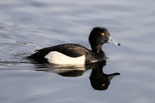 Tufted Duck by Brian Cartwright - Jan 21st, Anton Lakes