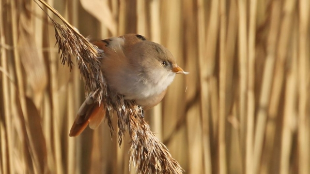 Bearded Tit by Chris Rose - Jan 2nd, Hook-with-Warsash