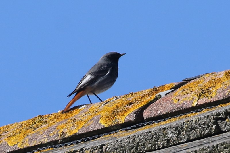 Black Redstart by Chris Rose - Feb 13th, Lee-on-the-Solent