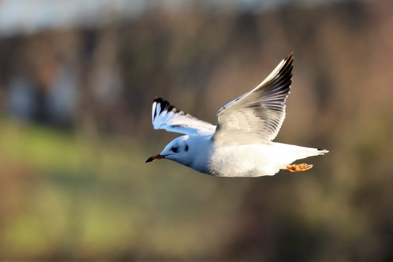 Black headed Gull by Brian Cartwright - Jan 25th, Anton Lakes