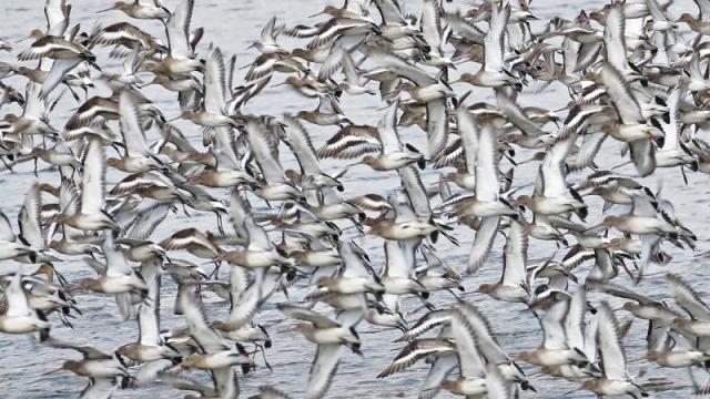 Black-tailed Godwits by Chris Rose - Feb 6th, Farlington