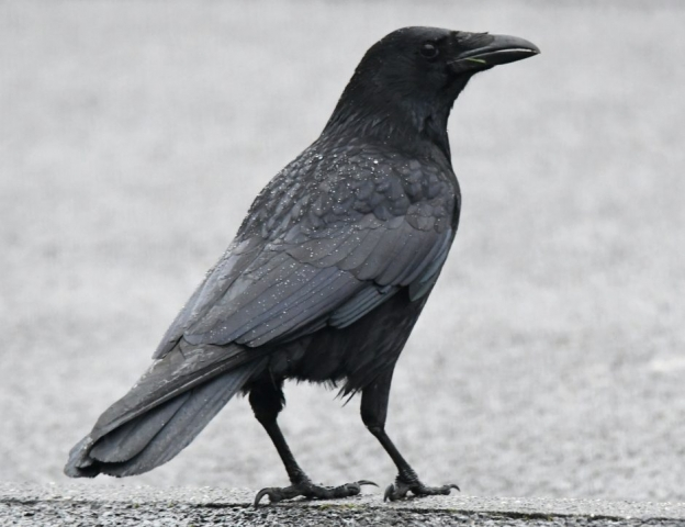 Carrion Crow by Dave Levy - Feb 4th, Basingstoke