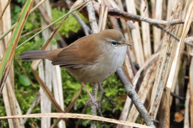 Cettis Warbler by Brian Cartwright - Feb 16th, Anton Lakes