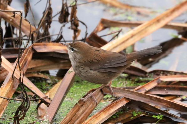 Cettis Warbler by Brian Cartwright - Jan 27th, Anton Lakes