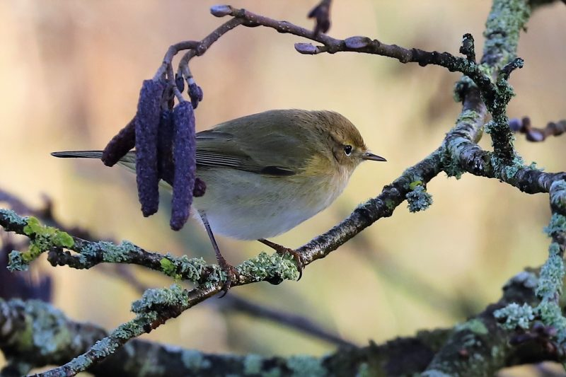 Chiffchaff by Brian Cartwright - Feb 2nd, Anton Lakes