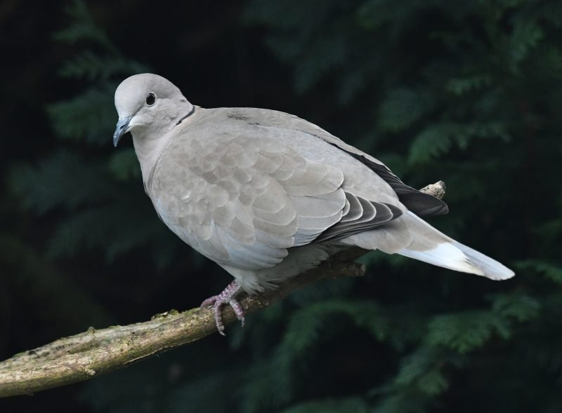 Collared Dove by Dave Levy - Feb 4th, Basingstoke