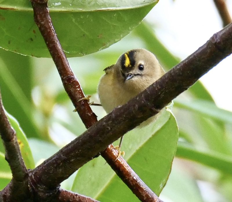 Goldcrest by Rob Porter-Feb 5th, Southampton Common
