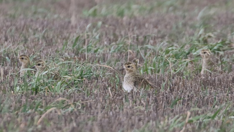 Golden Plover by Chris Rose - Feb 13th, Chilling