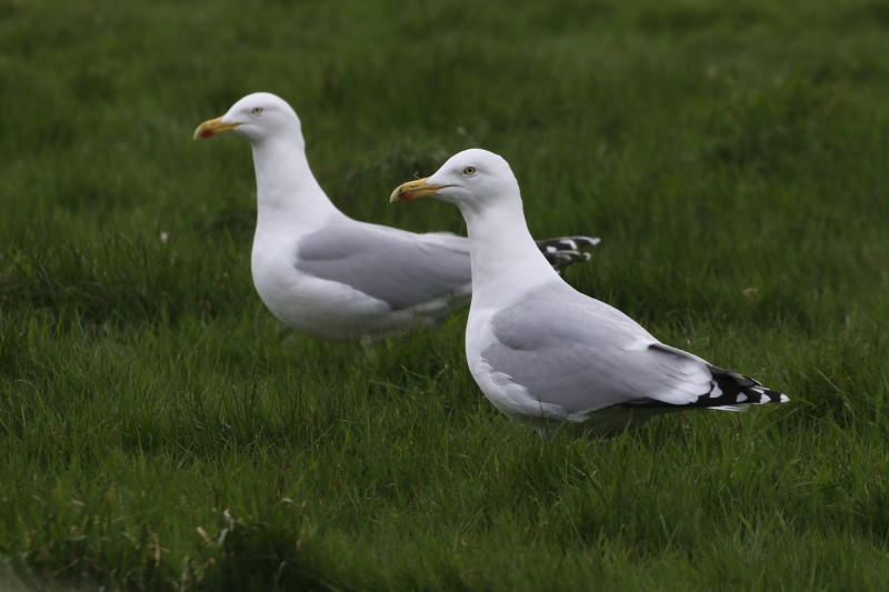 Herring Gull by Chris Rose - Feb 13th, Warsash