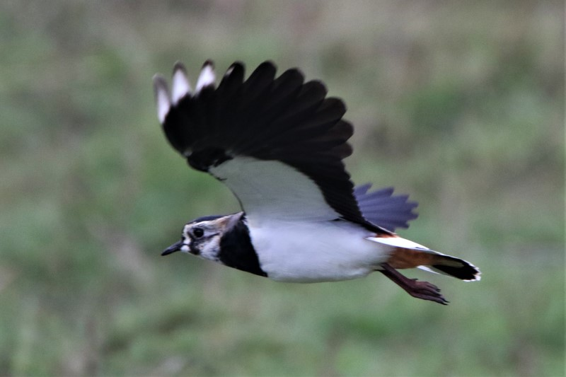Lapwing by Andy Tew - Feb 13th, Test Lane