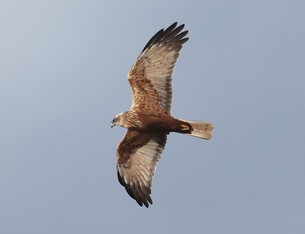 Marsh Harrier by Terry Jenvey - Feb 18th, New Forest