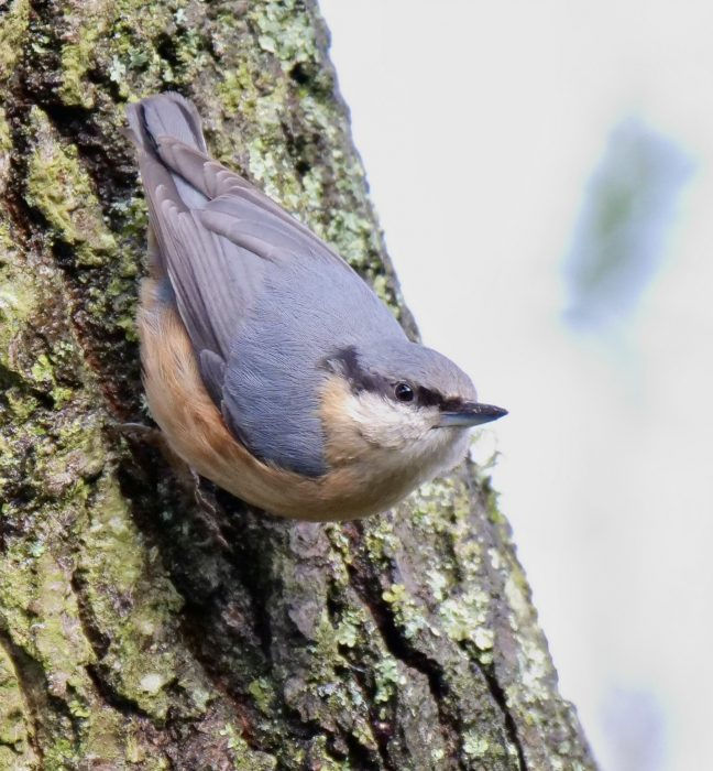 Nuthatch by Rob Porter-Feb 5th, Southampton Common