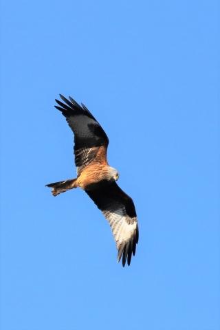 Red Kite by Brian Cartwright - Feb 10th, Anton Lakes