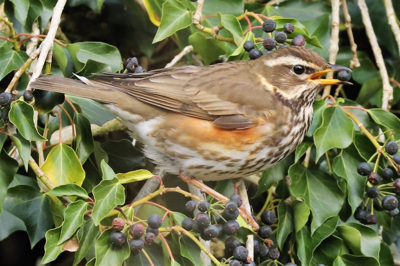 Redwing by Brian Cartwright - Feb 10th, Anton Lakes