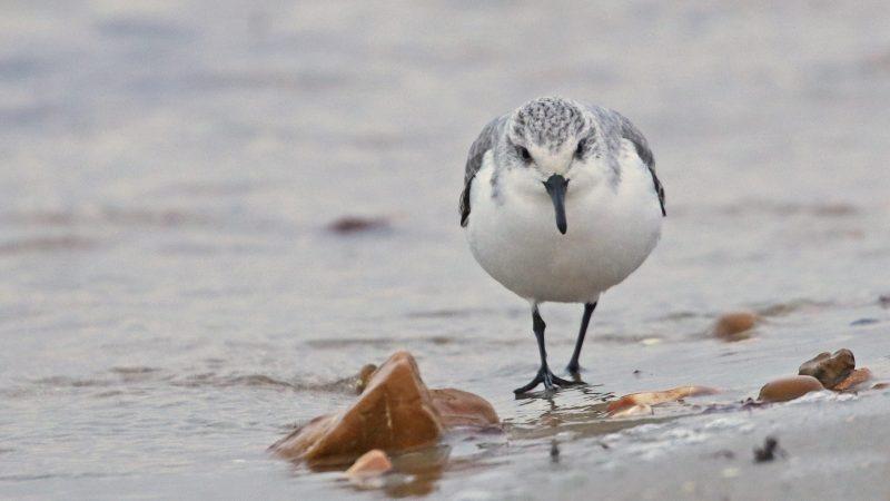 Sanderling by Chris Rose - Jan 9th, Hill Head