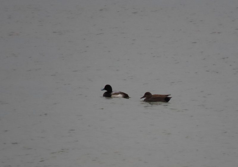 Scaup by Amy Robjohns - Jan 31st, Hill Head